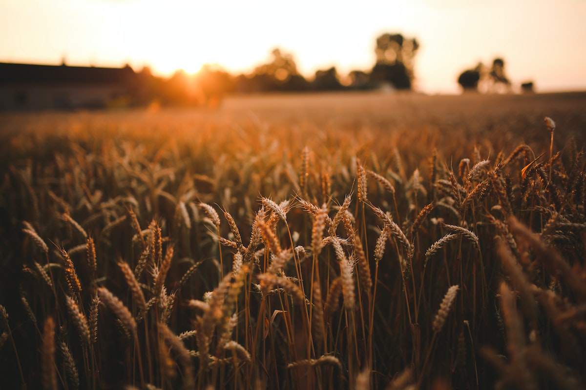 sunset-field-of-grain
