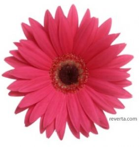 gerber daisy red